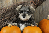 Schnauzer Puppy Sitting in Leaves with Broom Valokuvavedos