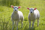 Lambs Photographic Print