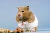 Hamster and Nuts Lámina fotográfica