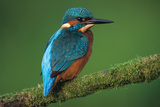 Kingfisher Perched on Branch Reproduction photographique