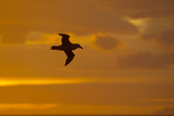 Northern Giant Petrel in Flight at Sunset Reproduction photographique