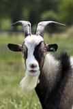 Goat Close-Up Head in Meadow Impressão fotográfica