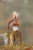 Red Squirrel Sitting on an Old Stump and Eating Fotografisk tryk