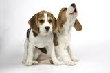 Beagle Puppies Sitting Down, One Howling Reproduction photographique