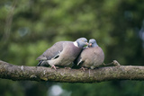 Woodpigeons X Two, on Branch Reproduction photographique