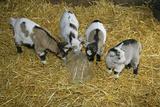 Pygmy Goat Kids Investigating a Polythene Bag Impressão fotográfica