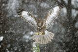 Buzzard Landing in Snow Shower Reproduction photographique