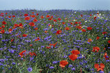 Cornflower Field with Common Poppies Photographic Print