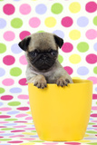 Pug Puppy (6 Wks Old) in a Yellow Pot Fotografisk tryk