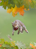 Grey Squirrel Jumping in Mid-Air with Nut in Mouth Fotografisk tryk