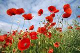 Common Poppy Growing in Oil Seed Rape Crop Fotografie-Druck