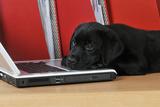 Black Labrador Puppy (8 Weeks Old) on a Laptop Fotografisk tryk