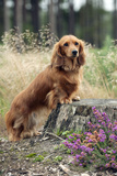 Miniature Long Haired Dachshunds on a Tree Stump Fotografisk tryk