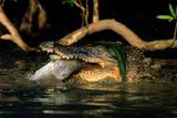 Saltwater Crocodile Eating Barramundi Fotografie-Druck