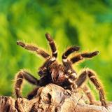 Tarantula, Bird-Eating Spider Fotografisk tryk af Andy Teare