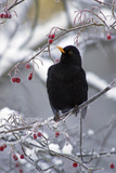 Blackbird Male Sitting in Hawthorn Bush in Winter Reproduction photographique