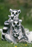 Ring-Tailed Lemur with Young Fotografisk tryk