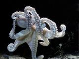 Common Octopus Lámina fotográfica