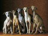Small Italian Greyhounds Five Sitting Down Together Reproduction photographique