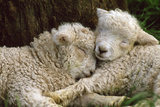 Tukidale Sheep Lambs, Raised for Carpet Wool Fotografisk tryk