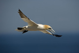 Northern Gannet in Flight Reproduction photographique