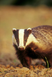 European Badger Close-Up, Front-View Photographic Print