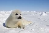 Harp Seal Pup Fotografisk tryk