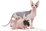 Hairless Animals Sphinx Cat, Guinea Pig and Rat Fotografisk tryk