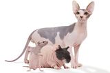 Hairless Animals Sphinx Cat, Guinea Pig and Rat Fotografie-Druck