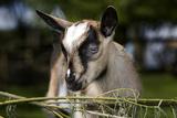 Brown Goat Kid at Fence in Garden Impressão fotográfica