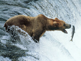 Brown Bear Catching a Fish Lámina fotográfica