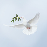 Dove in Flight Carrying Olive Branch in Beak Opeaceo Fotografie-Druck