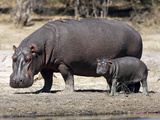Hippo Mother with Young One Lámina fotográfica