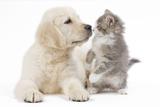 Golden Retriever Puppy in Studio with Kitten Fotografisk tryk