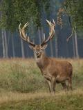 Red Deer Stag Lámina fotográfica