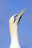 Northern Gannet Looking Up to Greet Incoming Mate Reproduction photographique