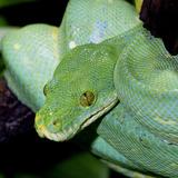 Green Tree Python Fotografisk tryk