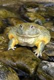 African Bullfrog or Giant Pyxie Fotografisk tryk
