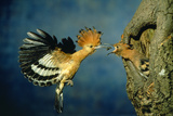 African Hoopoe in Flight Feeding Brooding Partner Reproduction photographique