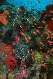 Colourful Coral Scene Underwater Fotografisk tryk