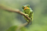 Ruwenzori Three Horned Chameleon Adult Female Fotografisk tryk