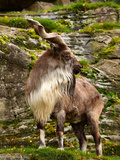 Markhor Goat Impressão fotográfica