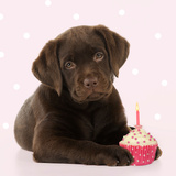 Chocolate Labrador Puppy Laying Down with Cup Cake Fotoprint
