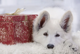 Swiss White Shepherd Dog with Gift-Wrapped Present Fotografisk tryk