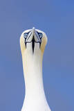 Northern Gannet Face on Portrait Showing Both Eyes Reproduction photographique