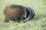 Giant Anteater Resting, Sheltering Young Behind Tail Lámina fotográfica