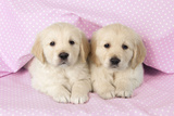 Golden Retriever Puppies (6 Weeks) Lying Fotografie-Druck