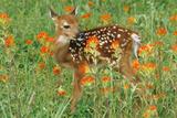 White-Tail Deer Fawn in Orange Paintbrush Wild Lámina fotográfica