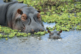 Hippopotamus Adult and Juvenile Heads in Weeds with Young Fotografisk tryk