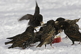 European Starlings in Snow Squabbling over Apple Reproduction photographique